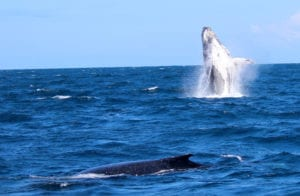 Whale watching image taken from aboard Crusader One of Sunshine Coast Afloat - AMAZING SHOT WITH 2 WHALES, ONE BREACHING!